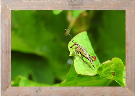 Scorpioenvlieg
